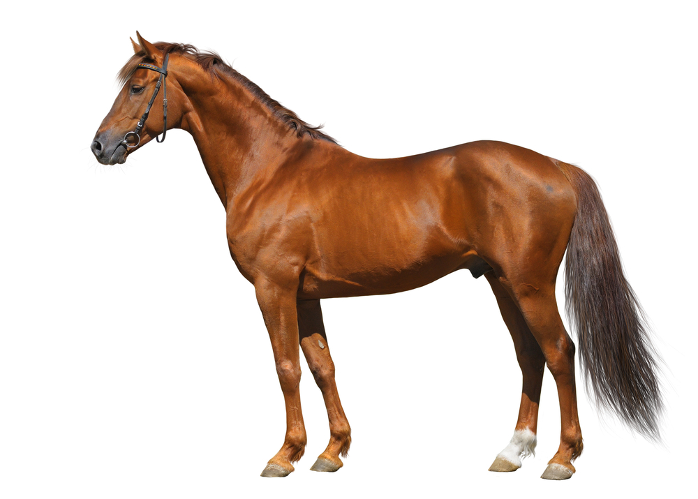 horse a domestic animal